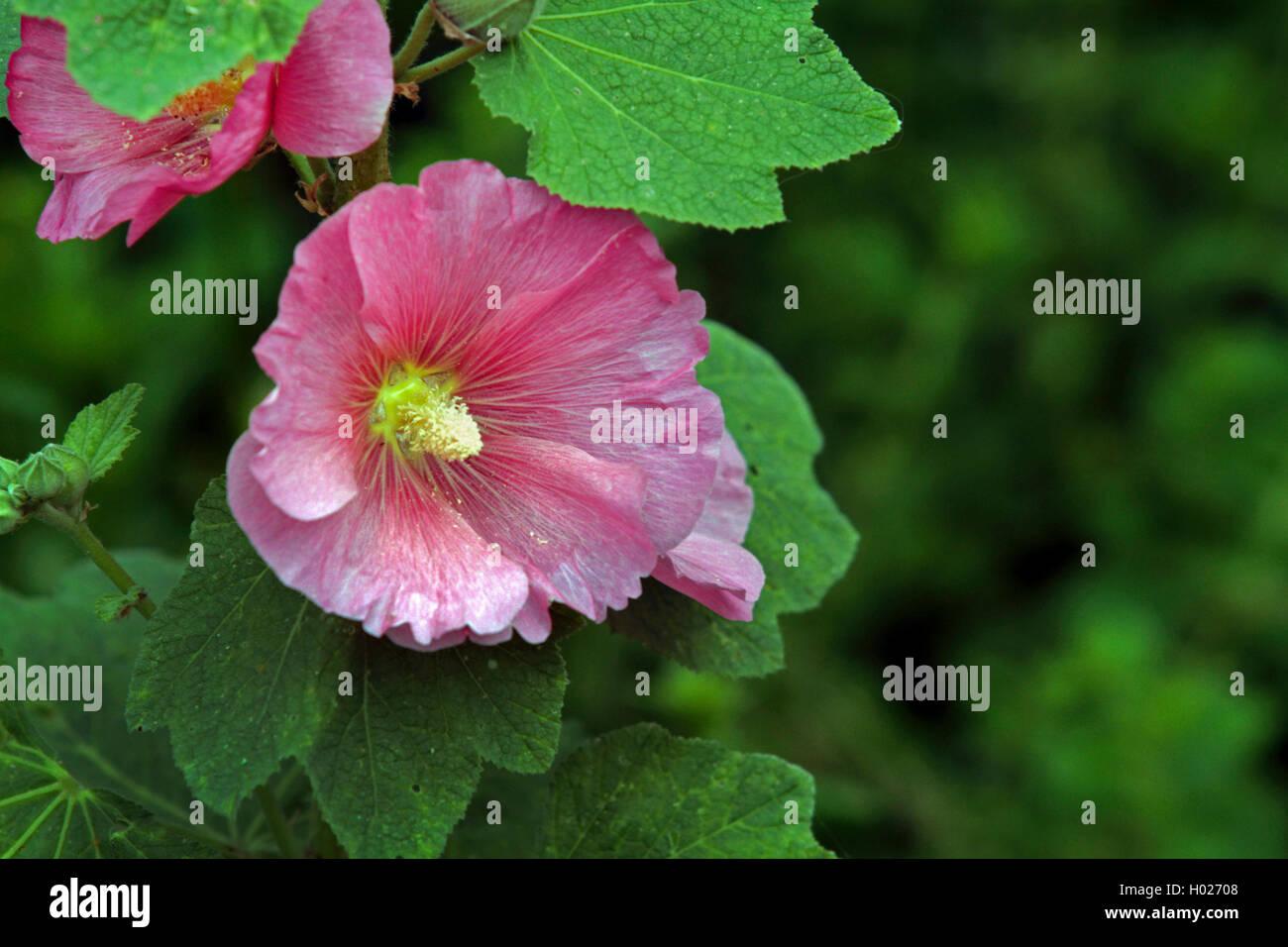 Hibiskus Roseneibisch Rosen Eibisch Straucheibisch Stock Photo