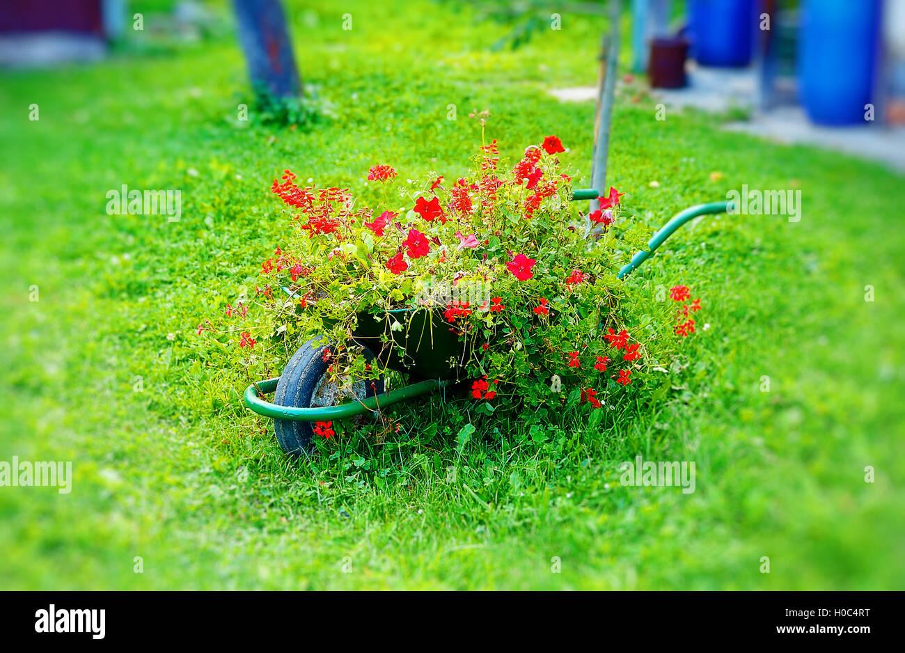 tiny decorative garden wheelbarrow full of red flowers on green lawn ...