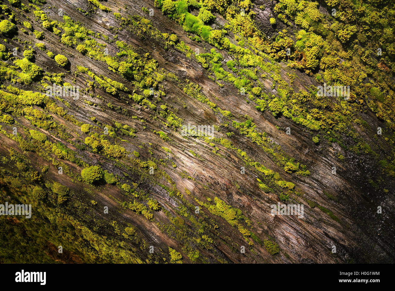 Moss covered sequoia tree in Sequoia National Park - Stock Image