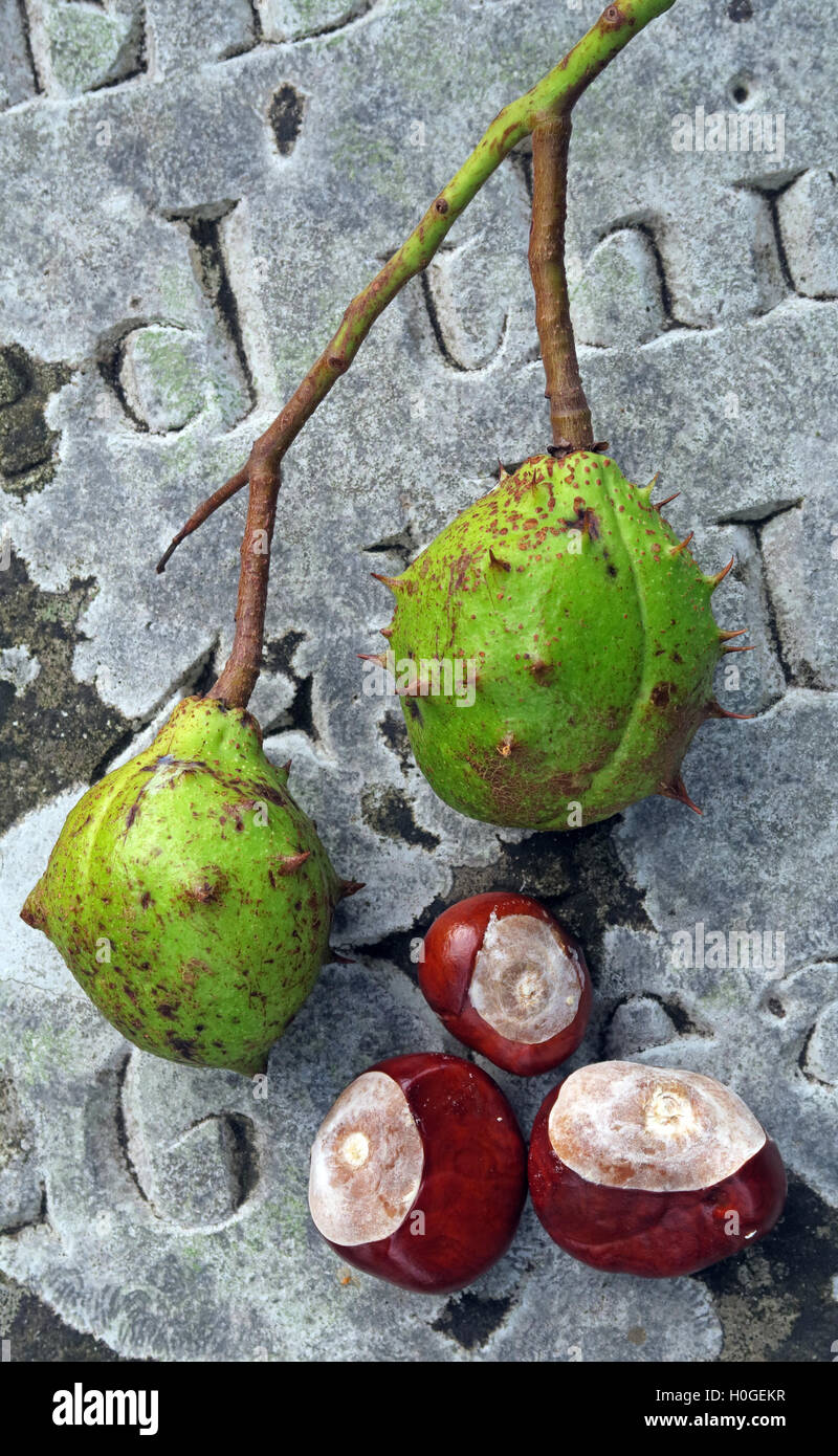 Schoolboy,school,fights,fight,nature,natural,leaf,leaves,chestnut,curiosity,outdoor,out,door,holding,held,hand,hands,fresh,hippocastanum,nut,nuts,plant,seed,tree,trees,horsechestnut,Sep,September,Oct,October,Nov,November,fruit,Conker Fight,Conker Fights,Horse Chestnut,Horse Chestnuts,GoTonySmith,@HotpixUK,Tony,Smith,different,unique,Buy Pictures of,Buy Images Of,Images of,Stock Images,Tony Smith,Photo of