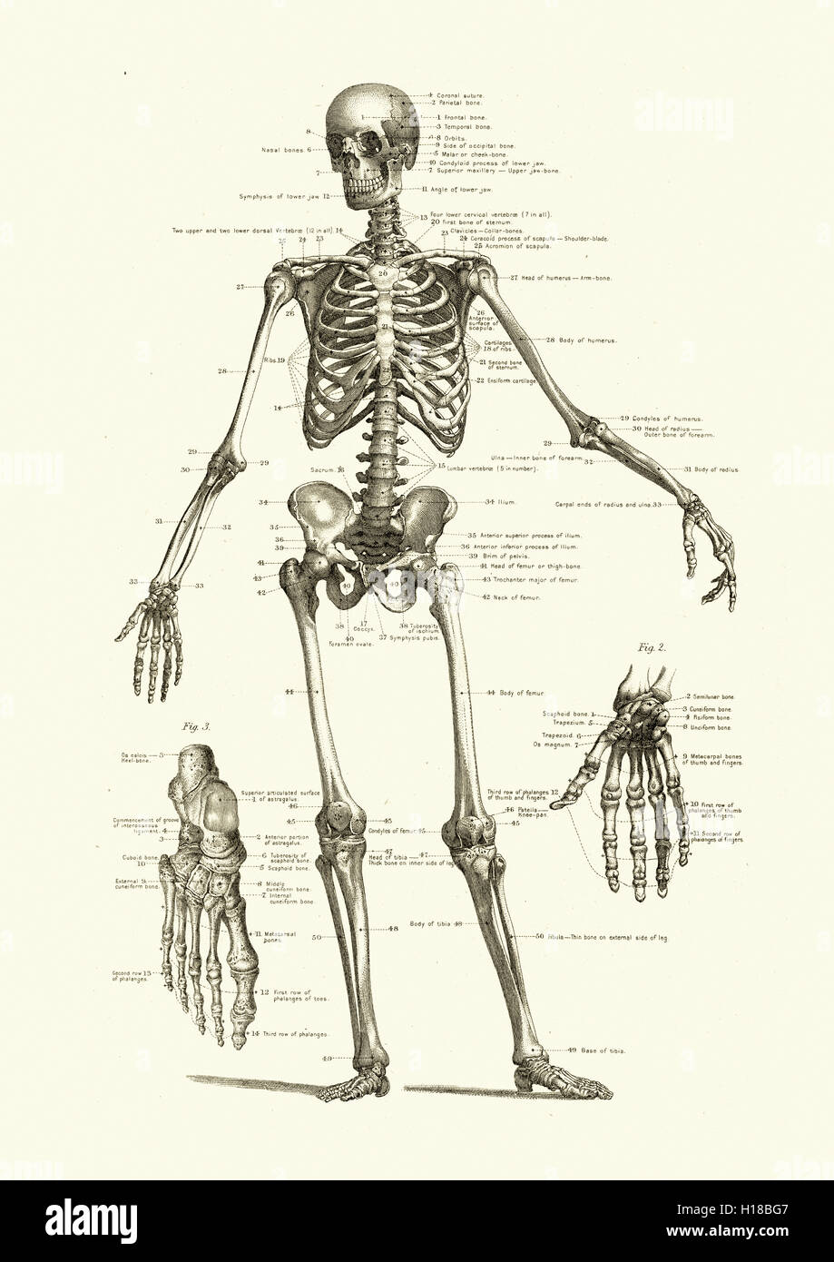 Human Skeleton Showing The Bones Of The Body Stock Photo 121271927