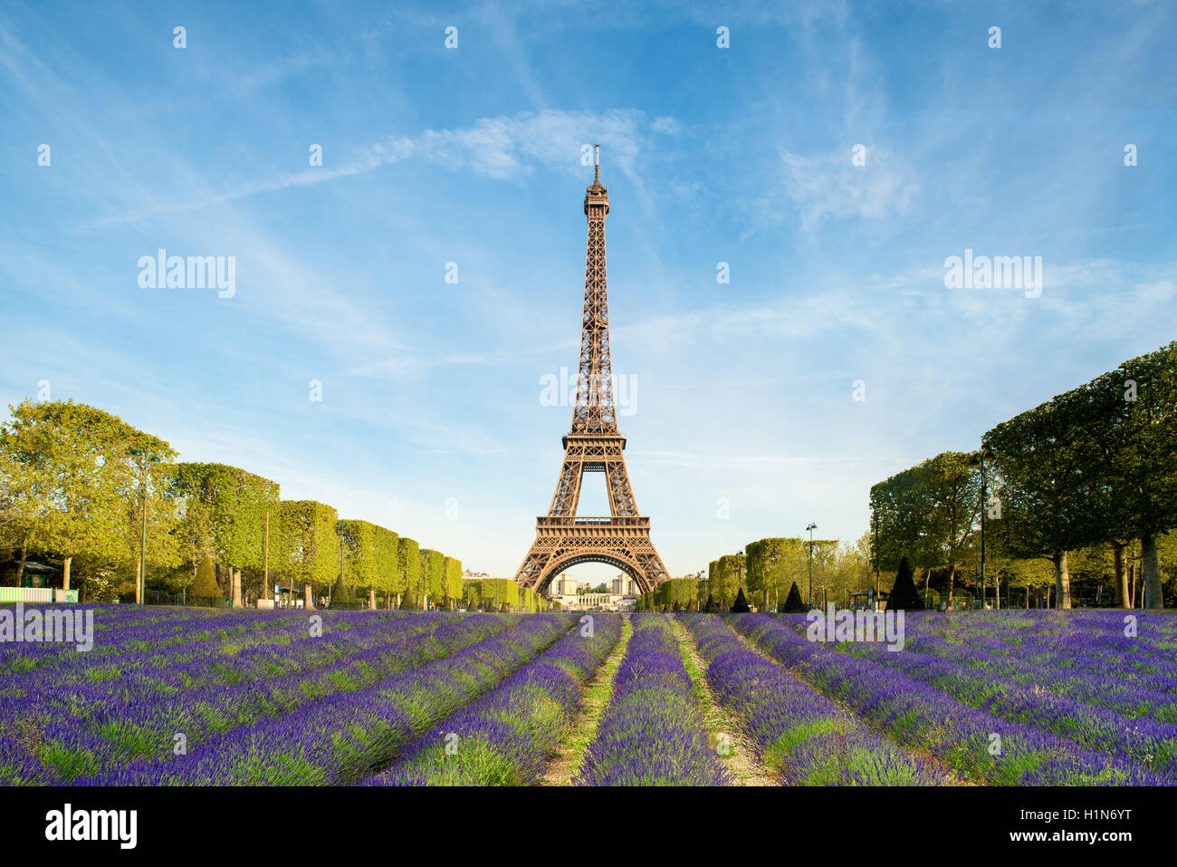 Beautiful purple lavender filed with Eiffel tower in background in Paris, France. Eiffel tower in morning in Paris, - Stock Image