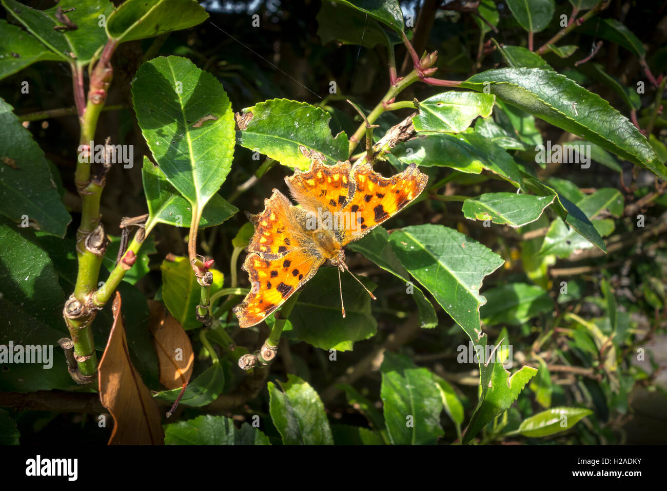 second-generation-comma-butterfly-on-prunus-laurel-tree-milton-cambridge-H2ADKY.jpg
