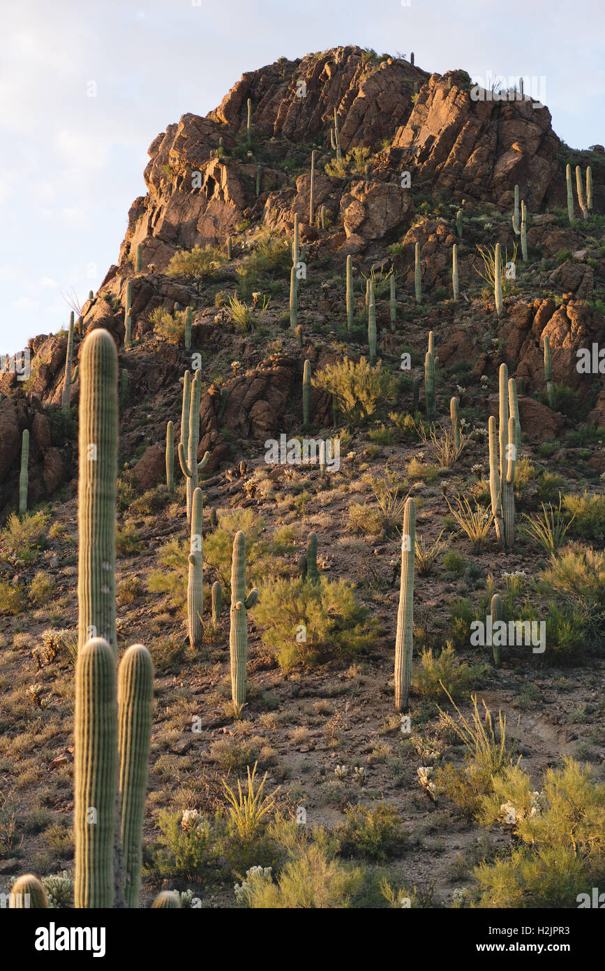 Saguaro cacti covering a mountain in the desert of Saguaro National Park - Stock Image