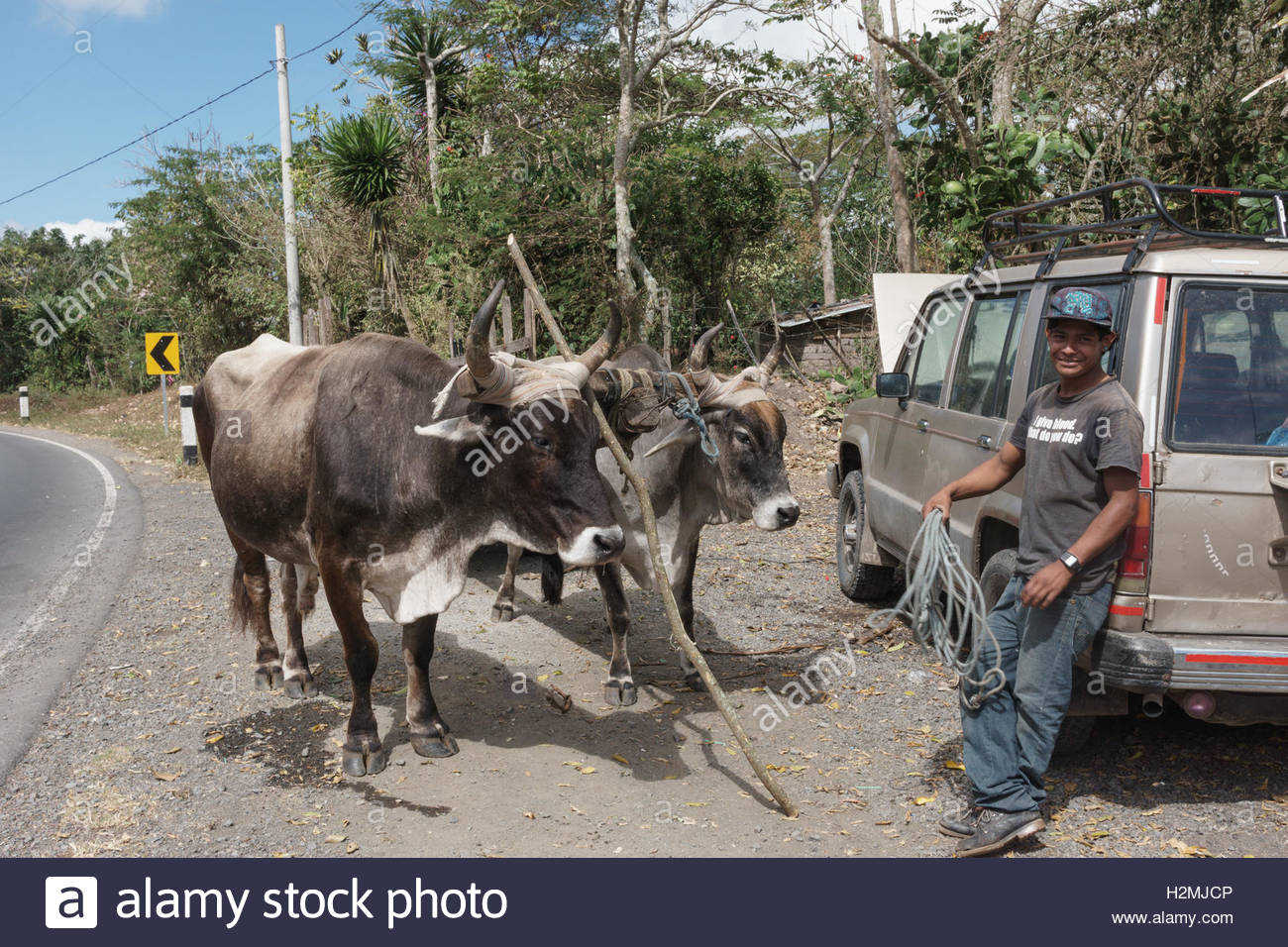 A yoke of oxen and their driver in Jinotega Department. Stock Photo