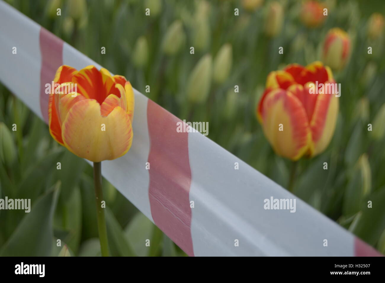 tulip, love, divorce, family, isolate, - Stock Image
