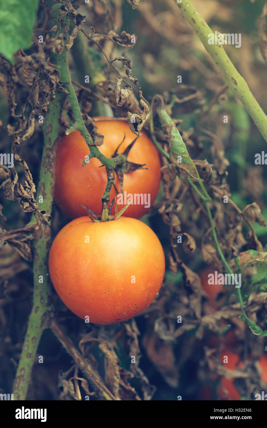 Organic tomato growth, ripe produce in vegetable garden - Stock Image