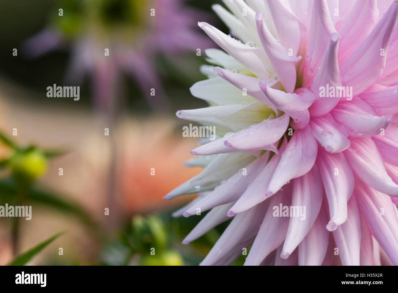 Soft Pink Spiky Dahlia Flower With Graduated Petals Stock Photo