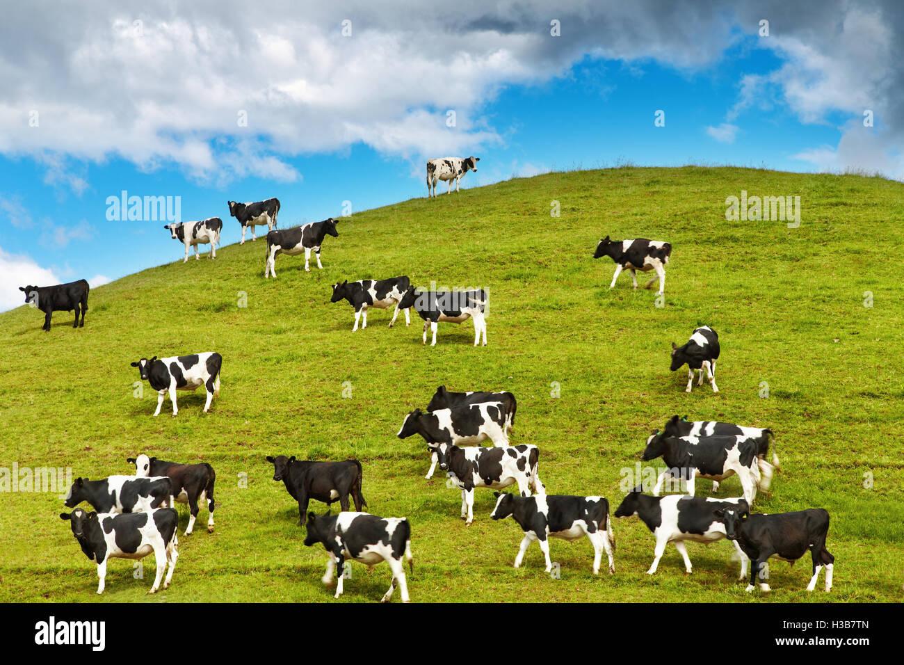 Grazing calves on green hill, New Zealand - Stock Image