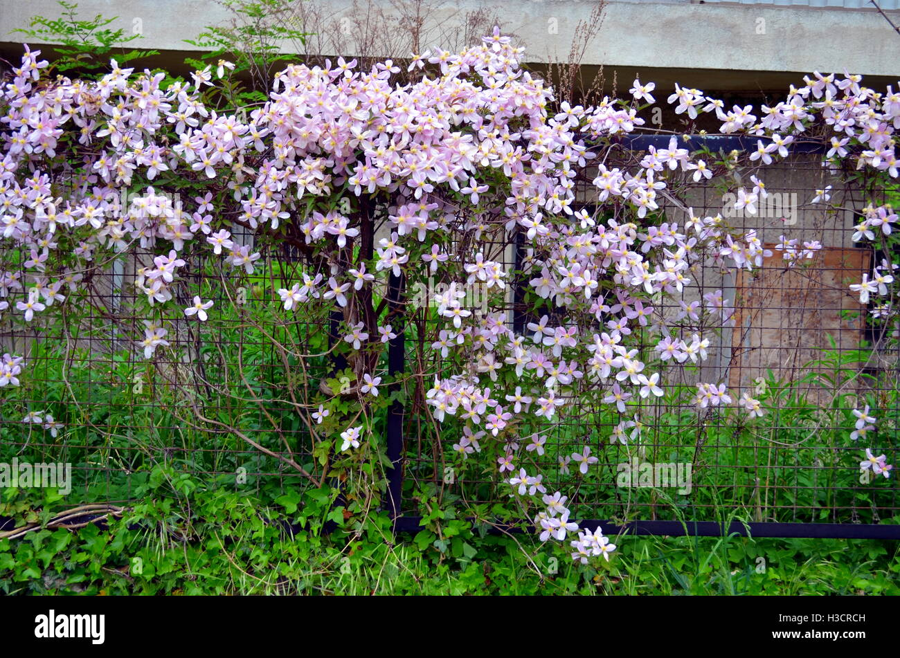 Pink Clematis Flowers Climbing On Garden Gate Stock Photo 122598353