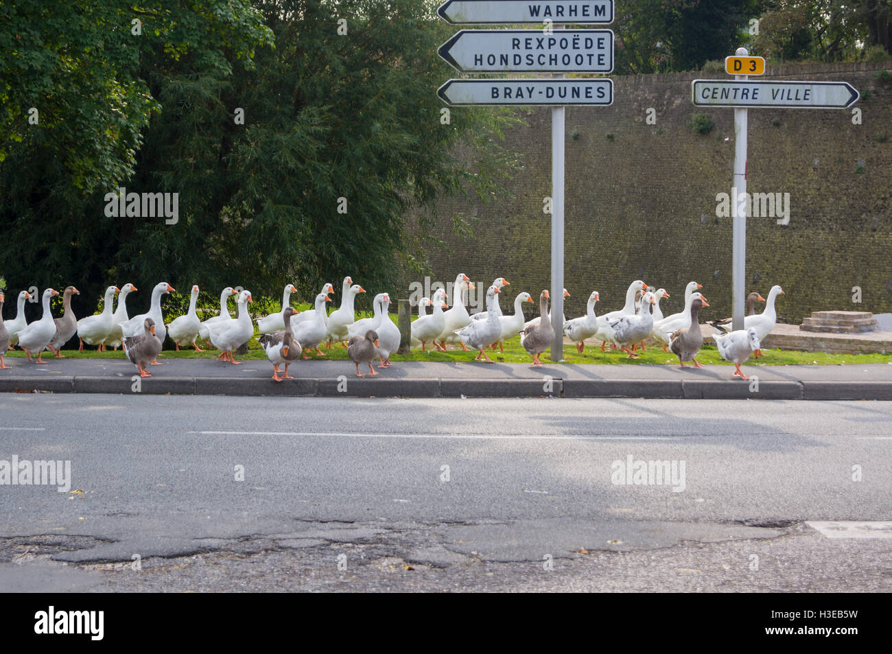a-flock-of-domestic-and-toulouse-geese-crossing-the-road-and-stopping-H3EB5W.jpg