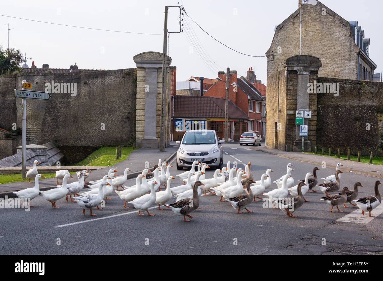 a-flock-of-domestic-and-toulouse-geese-crossing-the-road-and-stopping-H3EB5Y.jpg