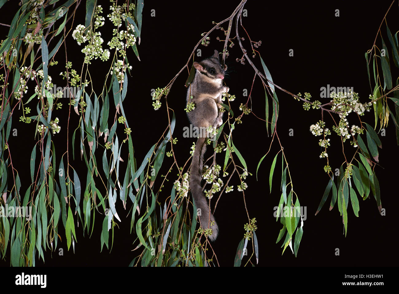 Leadbeater's possum (Gymnobelideus leadbeateri) in a flowering eucalypt tree at night, endangered species. Central Stock Photo