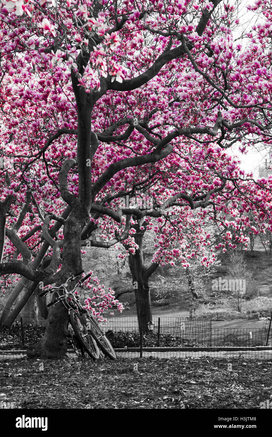 Bicycles Under A Pink Cherry Blossom Tree In Black And White Central