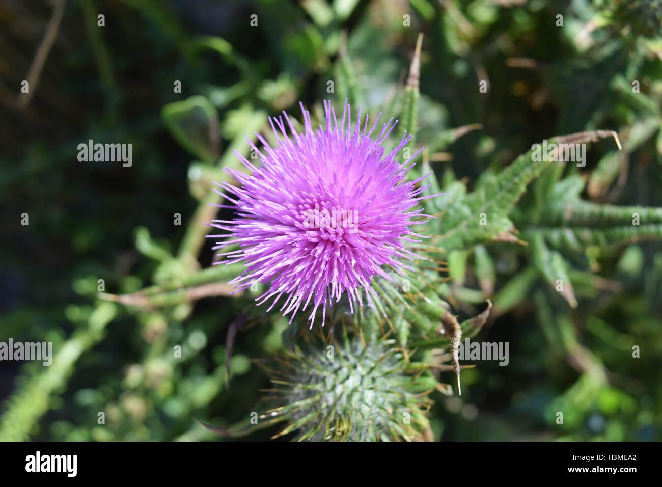 Pink Spiky Flower Stock Photo 122766842 Alamy