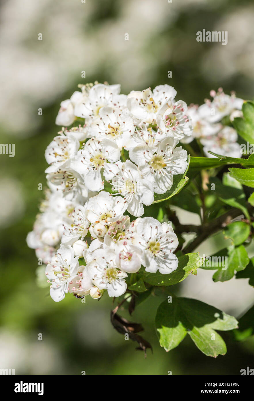 Hawthorn Or May Tree Crataegus White Flowers In Spring Surrey