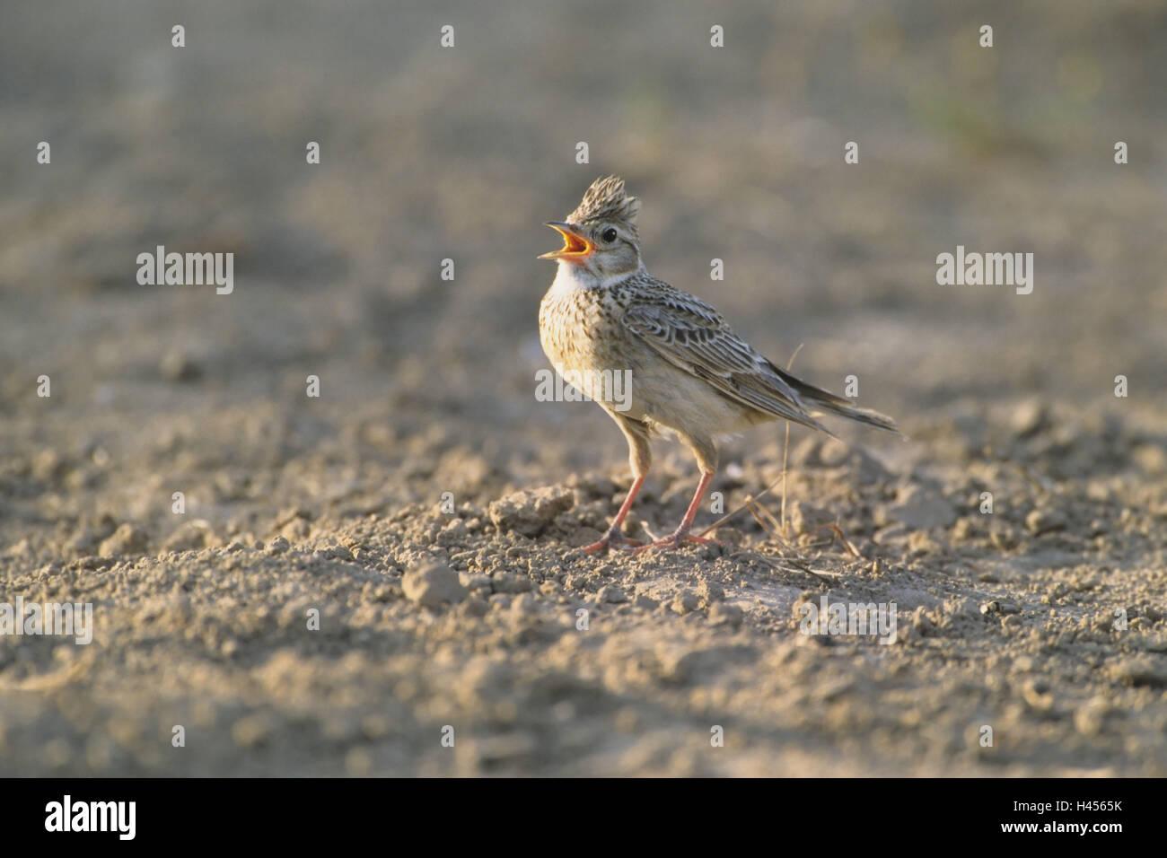 Skylark, Alauda arvensis, ground, singing, - Stock Image