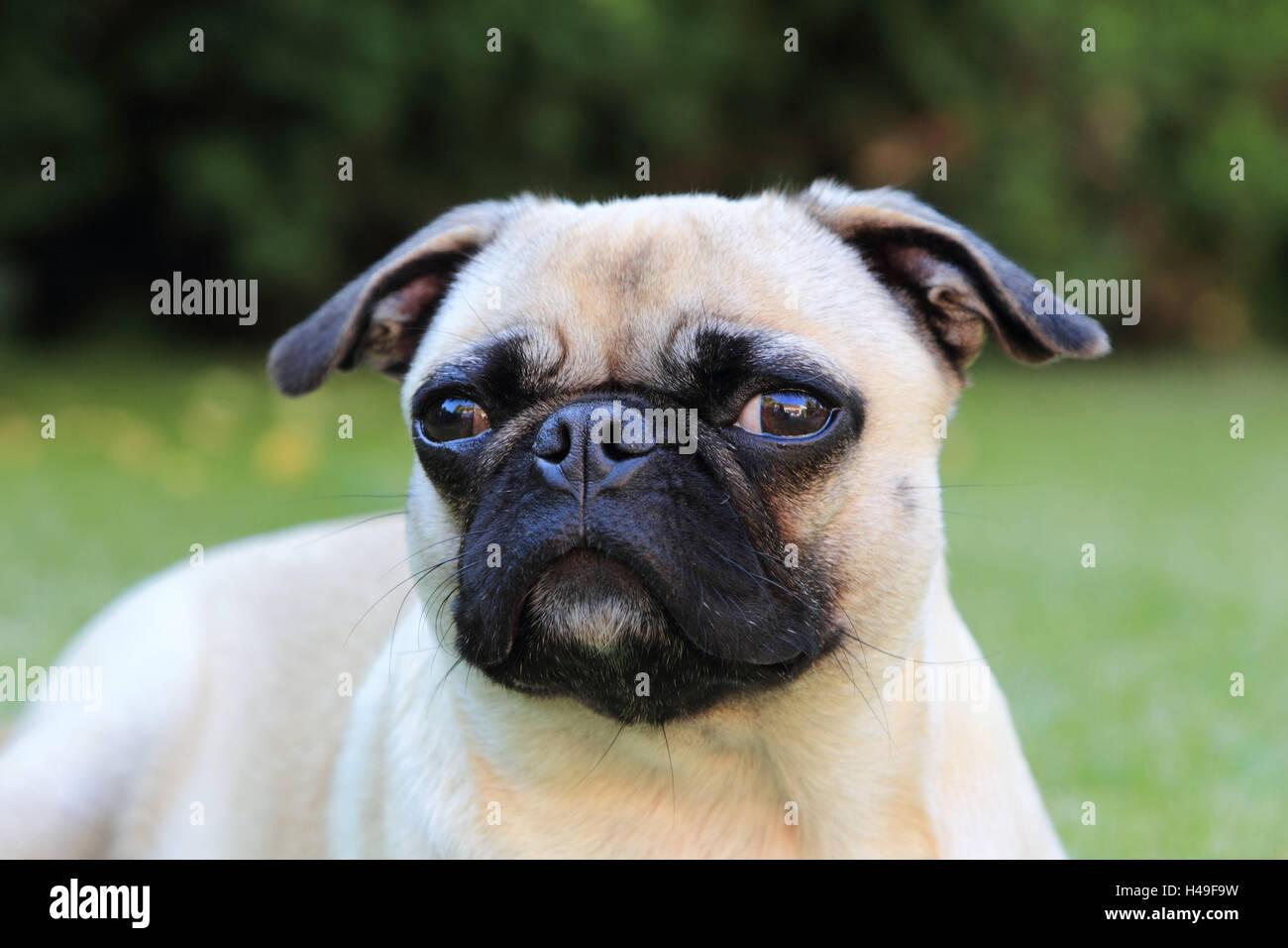 Pug, portrait, landscape format, mammal, animal, dog, pet, dog breed, - Stock Image