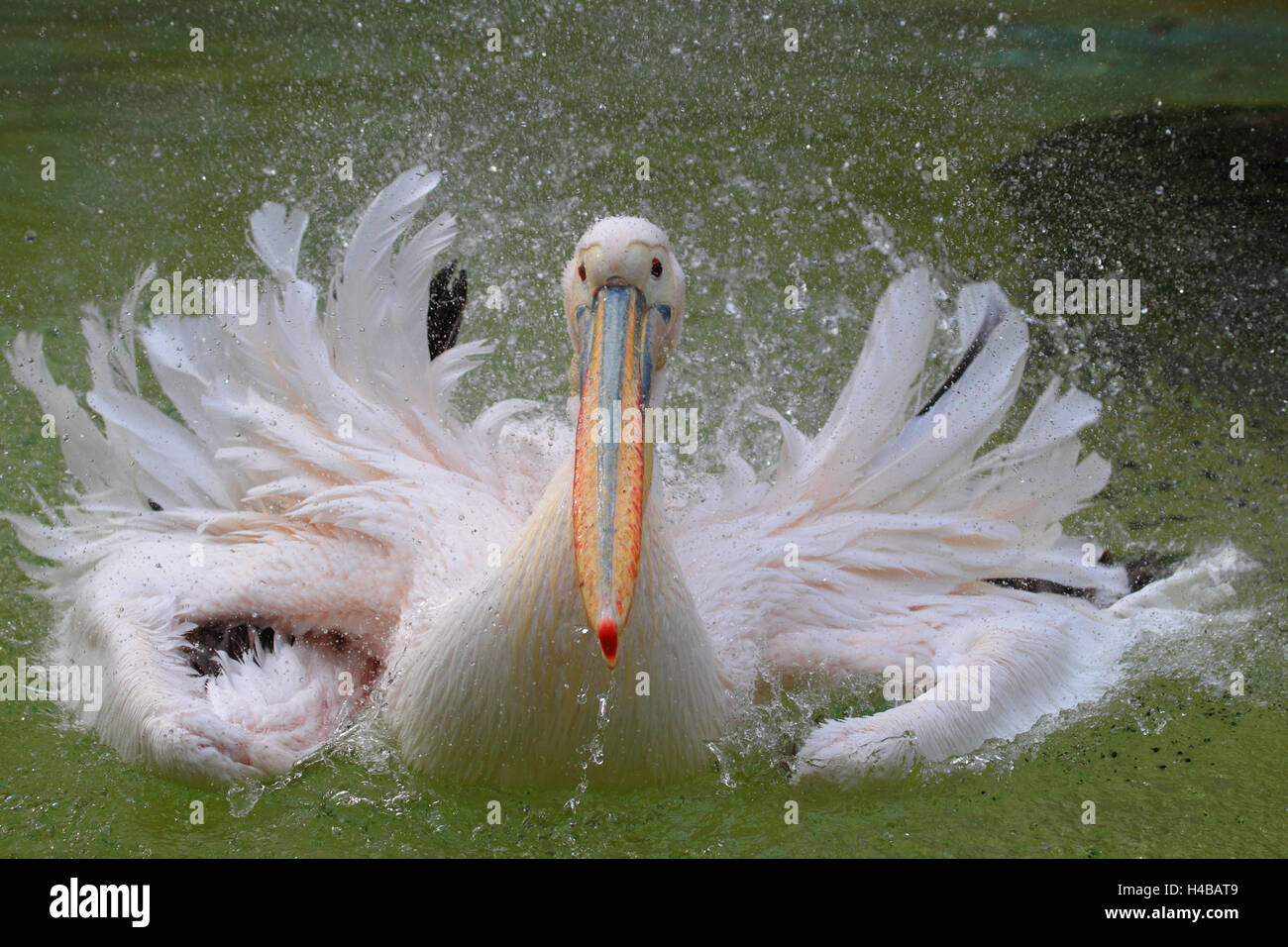 Great white pelican, Pelecanus onocrotalus - Stock Image