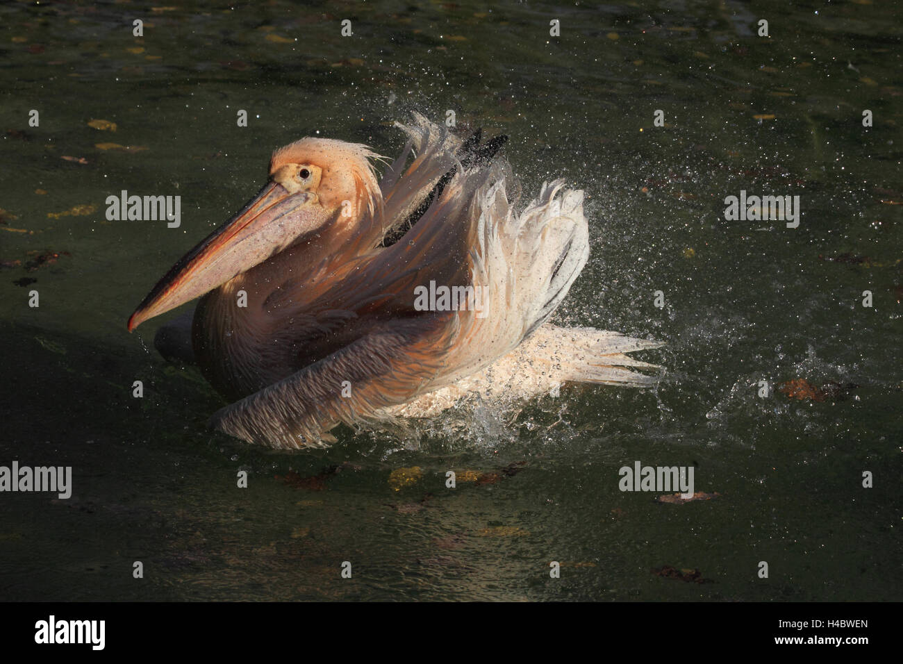 Great white pelican bathing Pelecanus onocrotalus - Stock Image