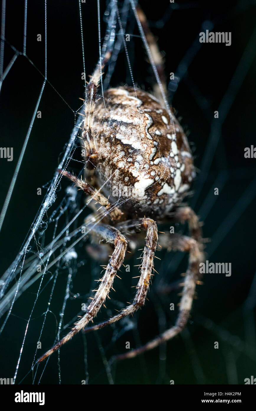 Sussex Uk 17th October 2016 A Common Garden Spider Enjoying The