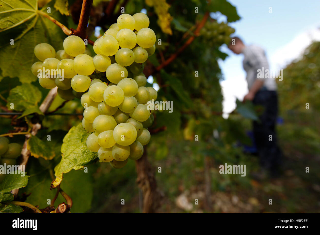Hambledon Vineyard, Hampshire, UK. 19th October, 2016. A labourer works among the vines harvesting chardonnay grapes Stock Photo