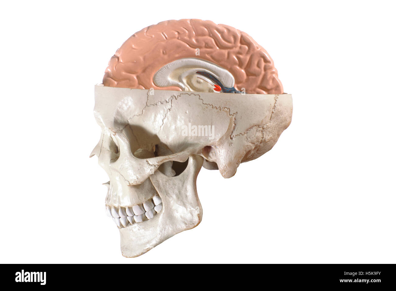 Anatomical model of the head and brain Stock Photo: 123970447 - Alamy