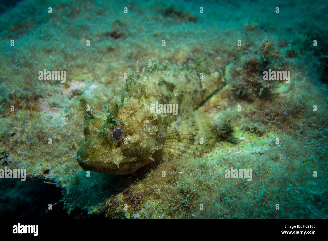 Full size Small Rockfish, Scorpaena notate, on algae covered rock. - Stock Image