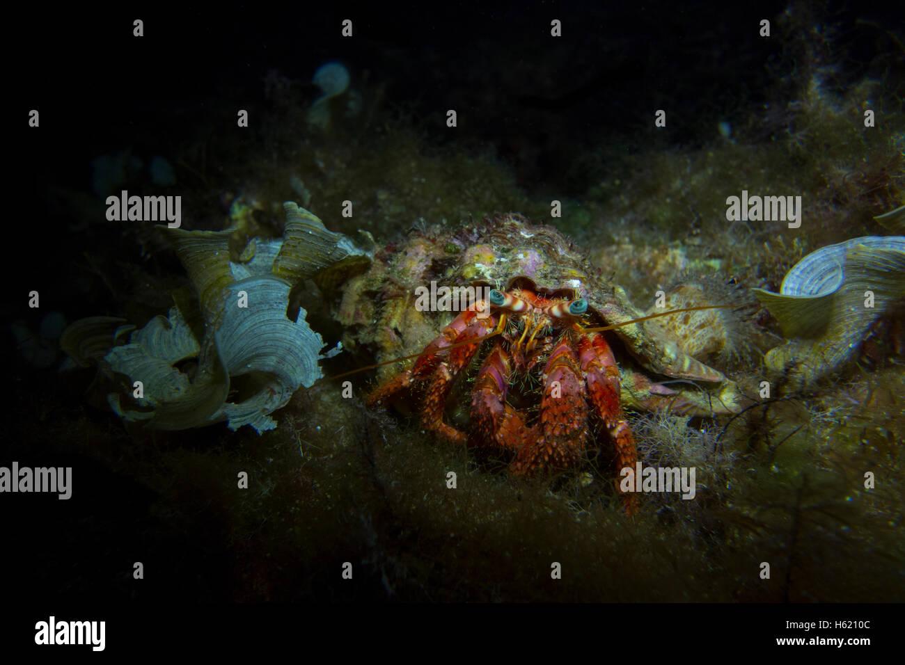 Red Hermit Crab, Dardanus calidus, from the Mediterranean Sea, Malta. - Stock Image
