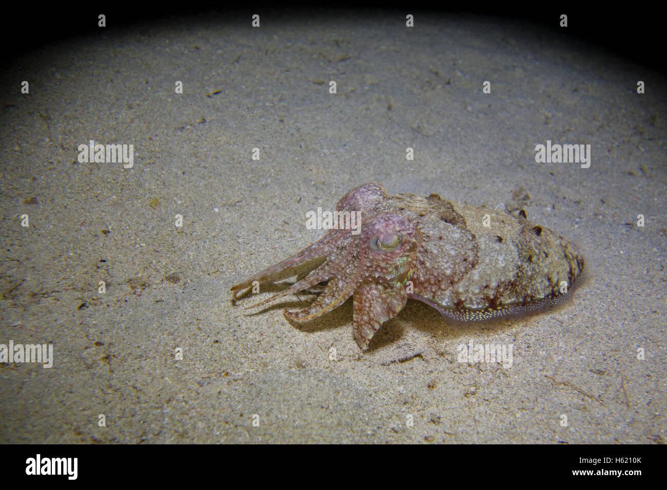 Common cuttlefish, Sepia officinalis, in the Mediterranean Sea in Malta - Stock Image