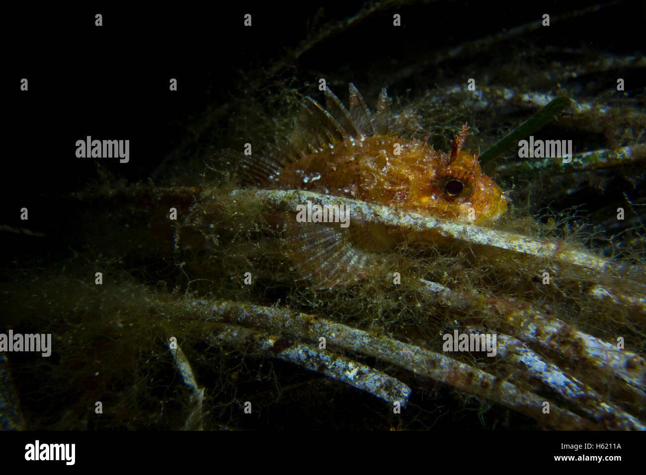 Dwarf Rockfish, Scorpaena notate, on Sea grass (Posidonia oceanica) algae covered fishing line in the Mediterranean - Stock Image