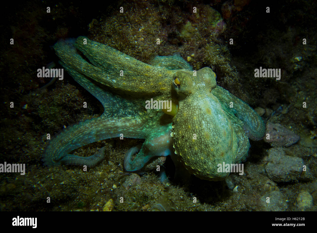 Octopus, Octopus vulgaris, close-up form the Mediterranean Sea. This picture was taken in Malta. - Stock Image