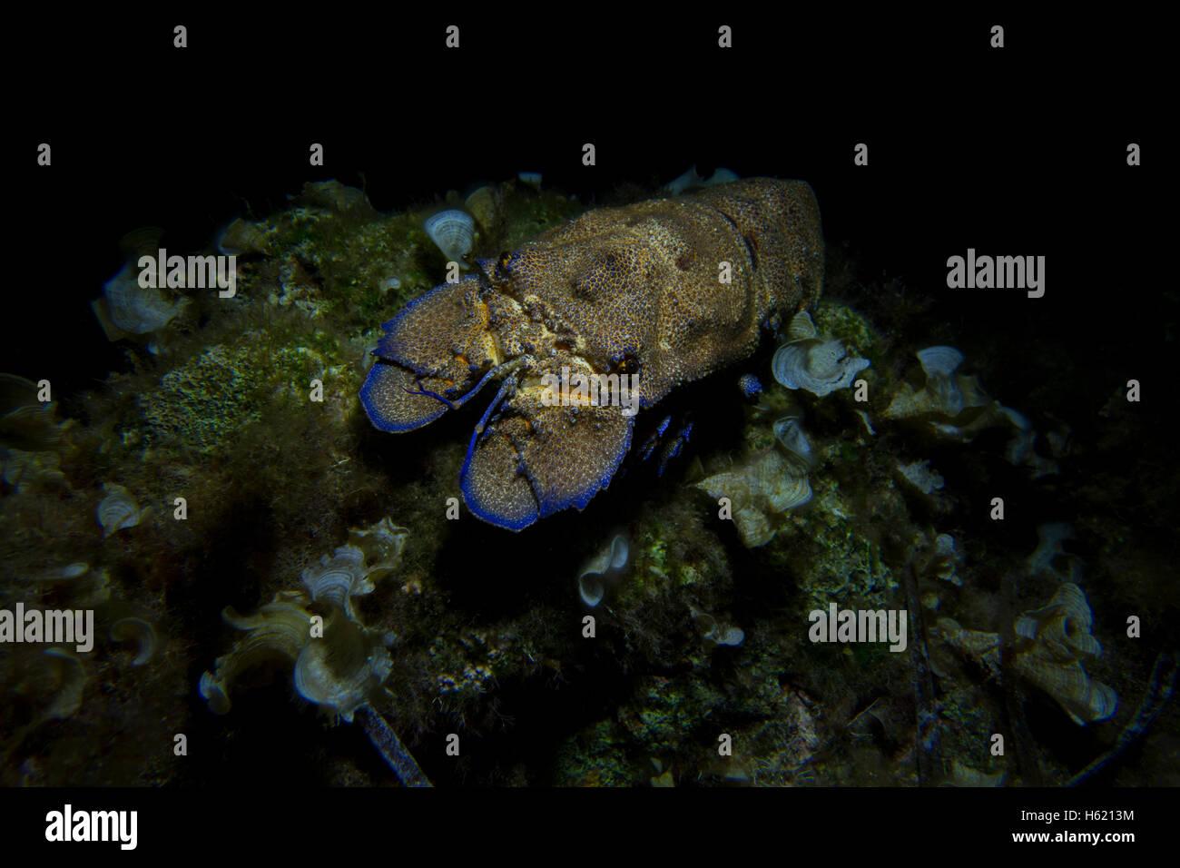 Mediterranean slipper lobster, Scyllarides latus, from Malta, Mediterranean Sea. - Stock Image