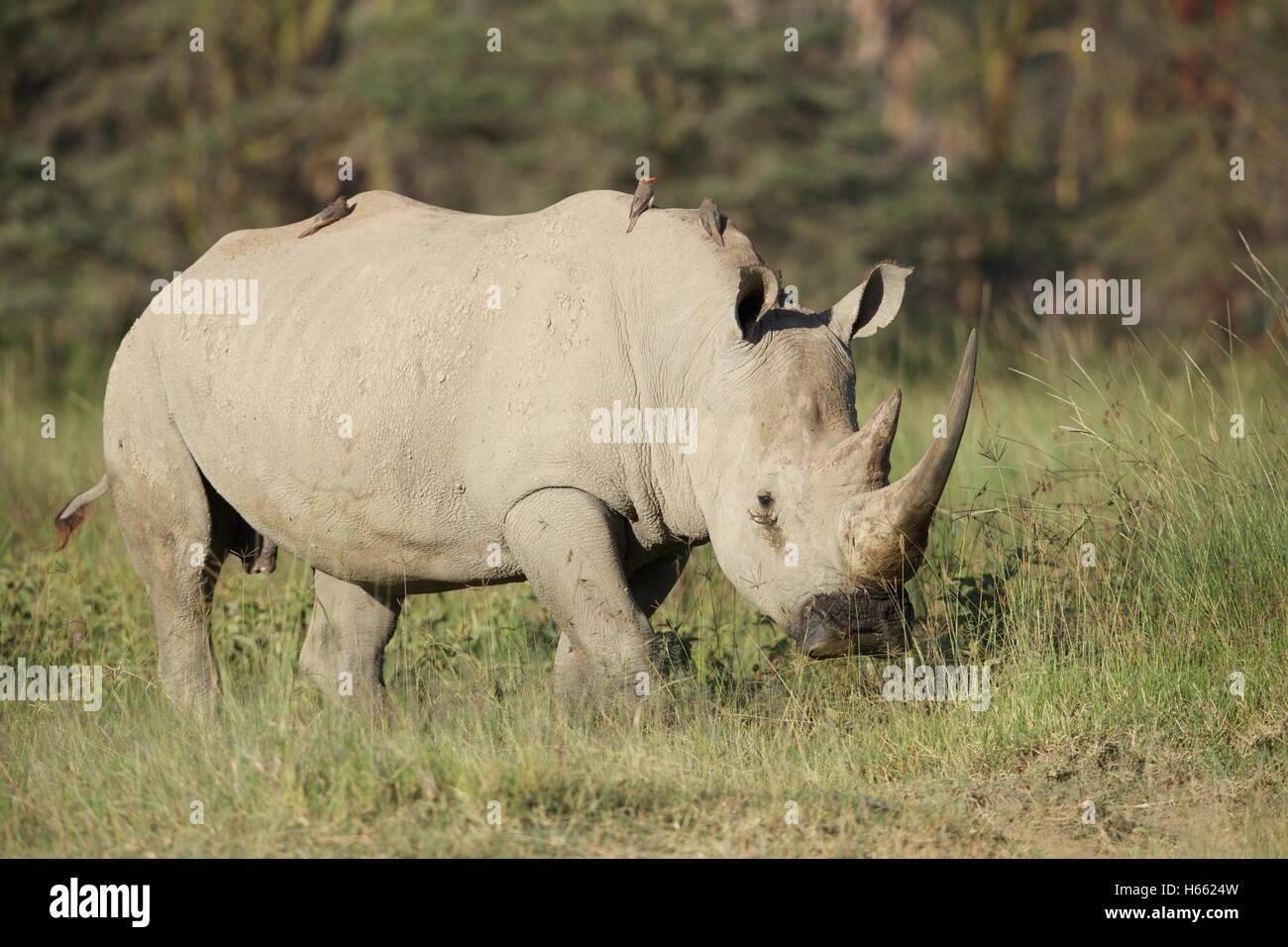 An endangered white rhino viewed on safari in Lake Nakuru, Kenya - Stock Image