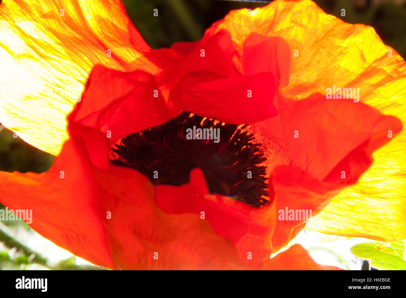 Abstract photograph of a poppy flower, Papaveroideae of the family Papaveraceae, strong back lighting, orange yellowStock Photo