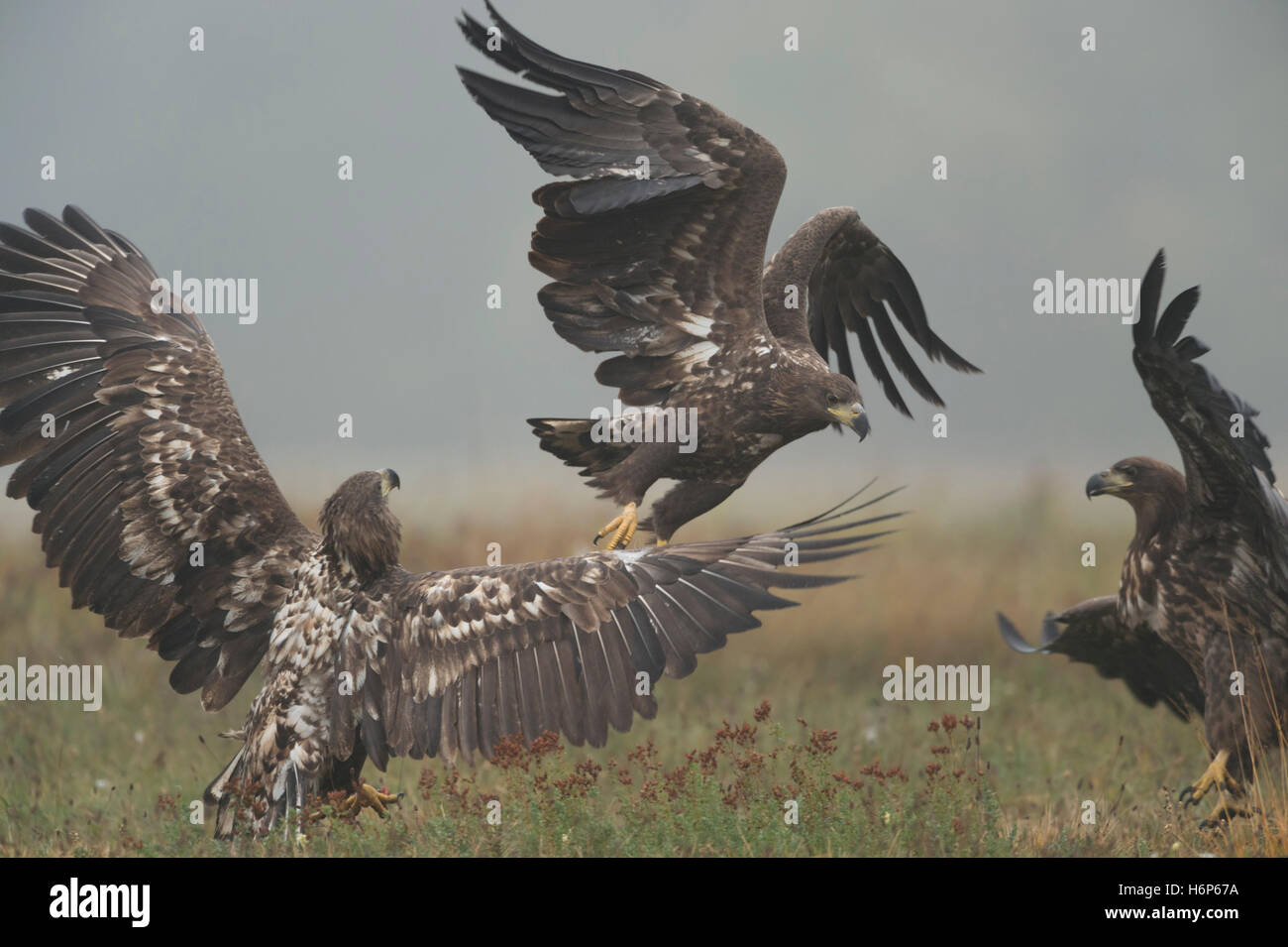 White-tailed Eagles / Sea Eagles ( Haliaeetus albicilla ), immature, subadult, young,  in fight, fighting, hazy - Stock Image
