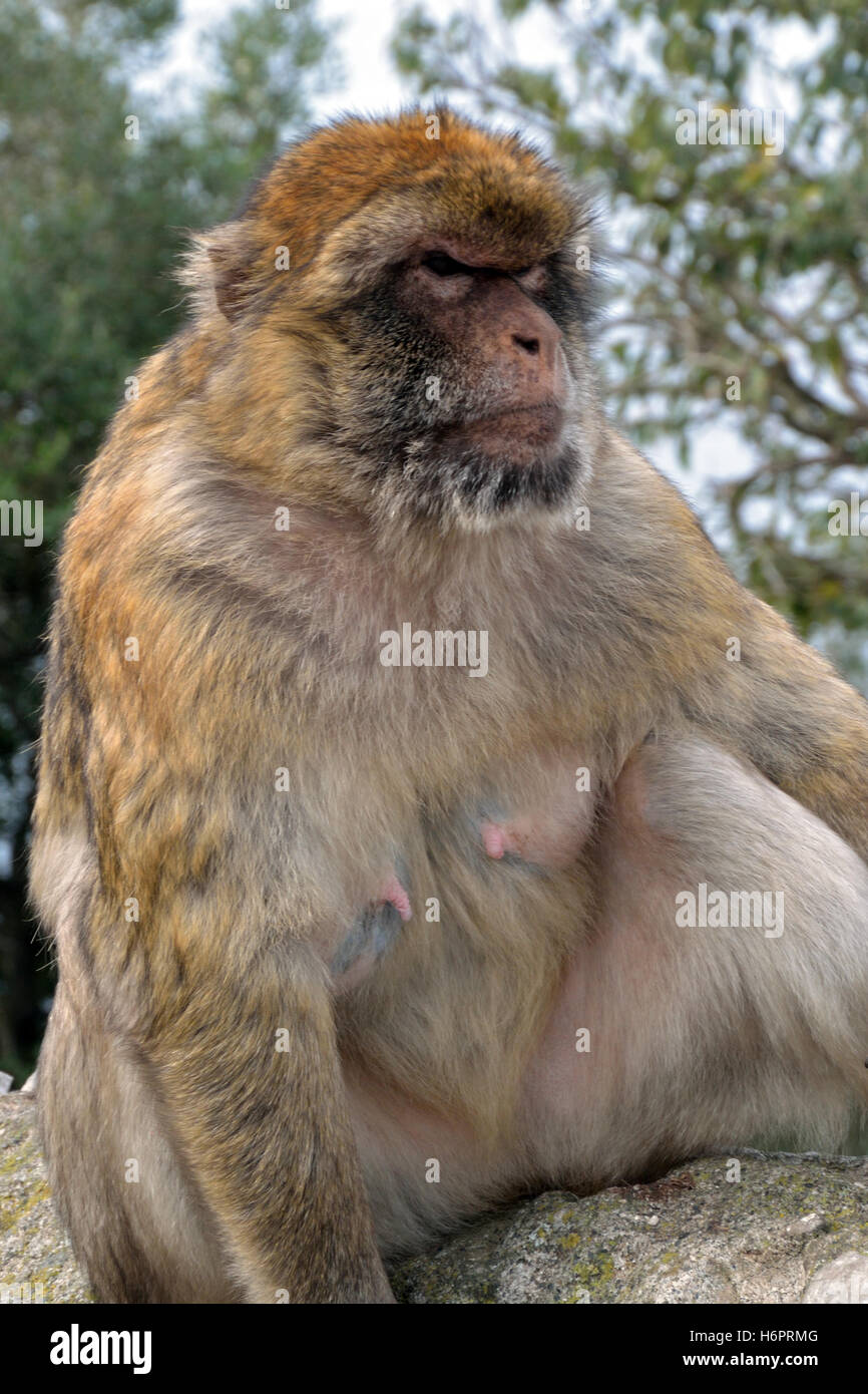 Gibraltar Barbary macaque, one of the only wild monkeys in Europe, on the Upper Rock Stock Photo