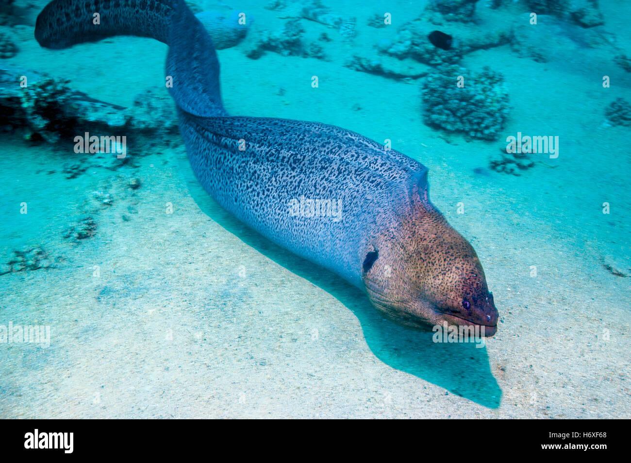 giant moray gymnothorax javanicus free swimming egypt red sea