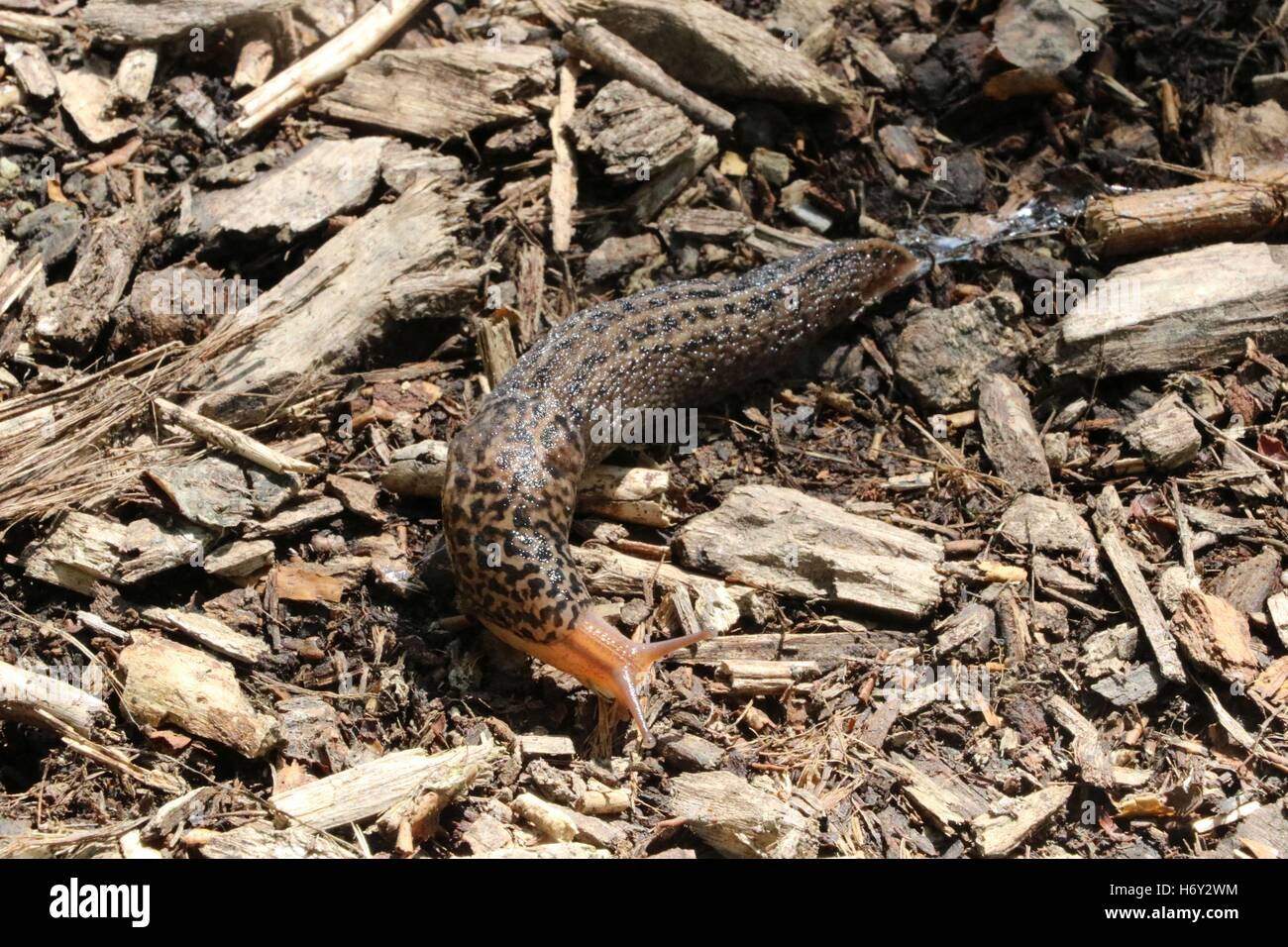 tiger slug crawling on the gorund available in high-resolution and