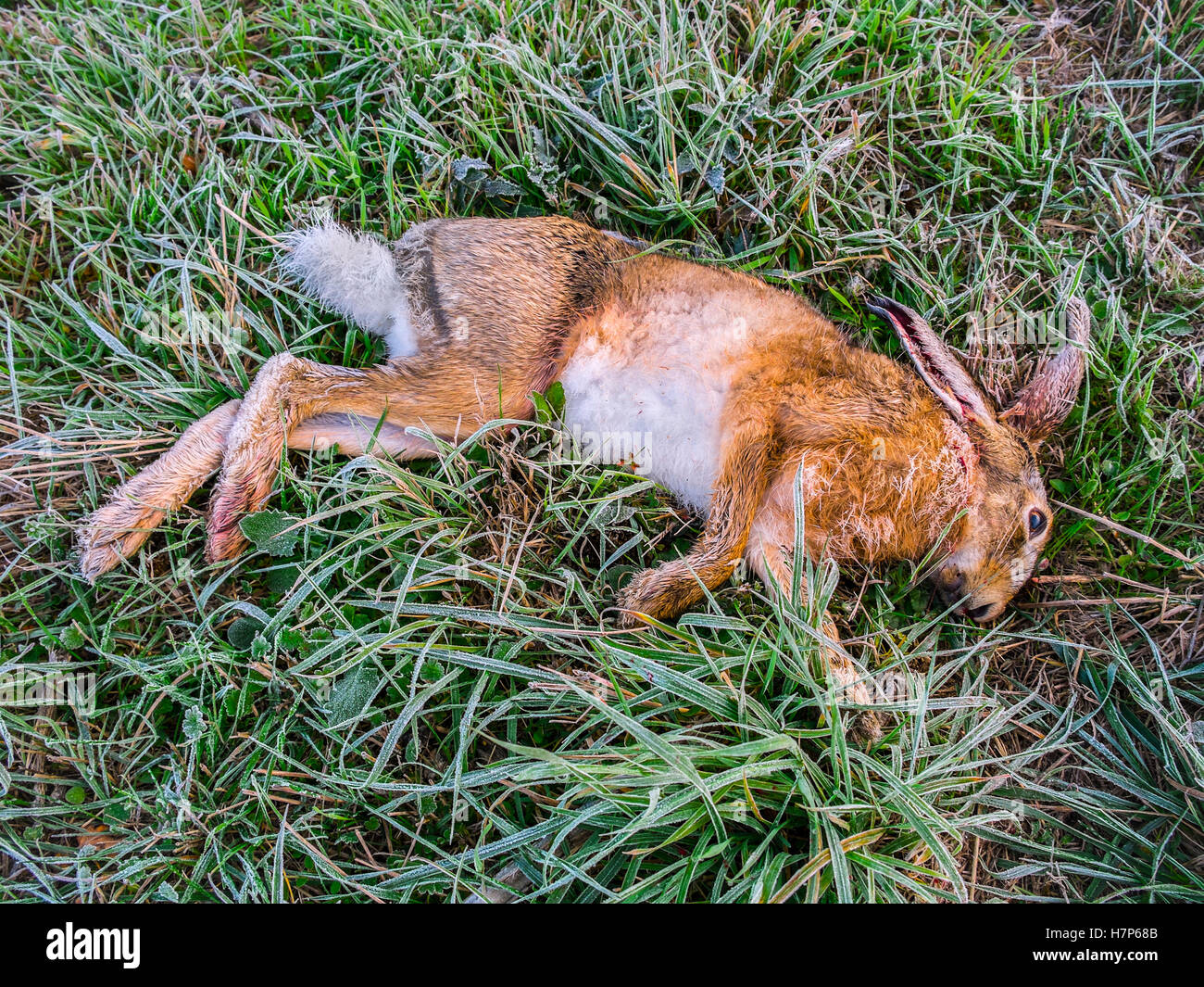 Dead Hare on roadside verge / accident victim - France. - Stock Image
