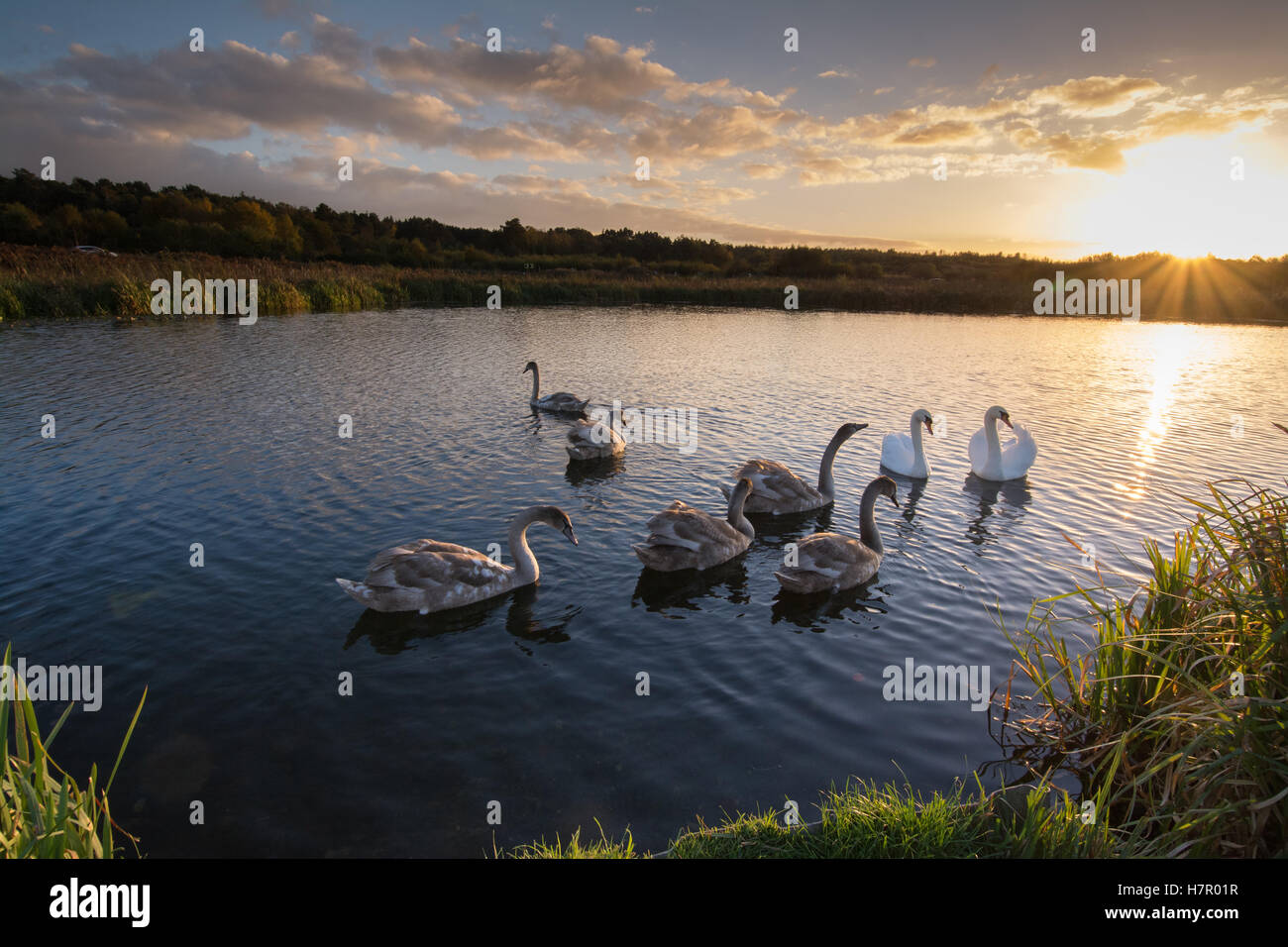 family-of-mute-swans-cygnus-olor-with-six-cygnets-on-the-basingstoke-H7R01R.jpg