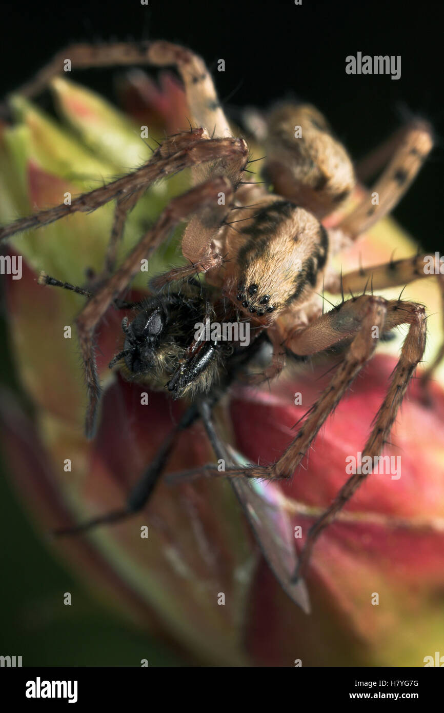 Buzzing Spider (Anyphaena accentuata) with prey, England - Stock Image