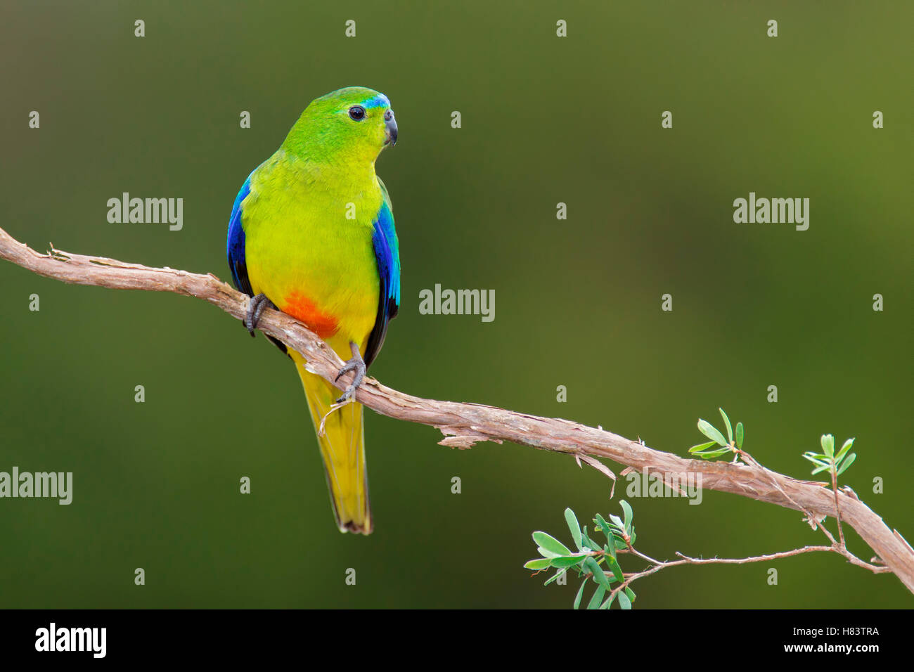 Orange-bellied Parrot (Neophema chrysogaster), Tasmania, Australia Stock Photo