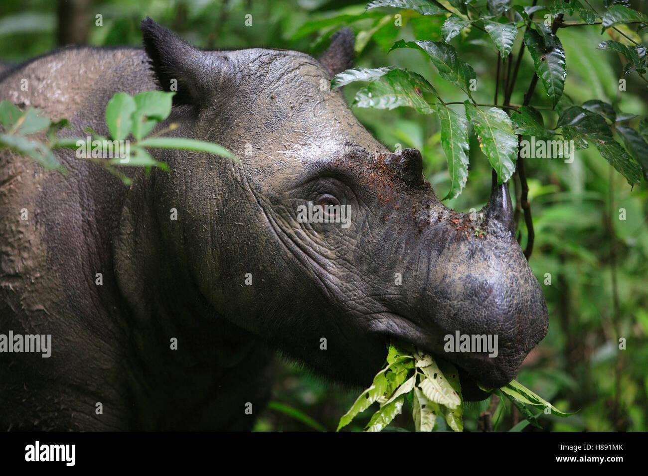 Sumatran Rhinoceros (Dicerorhinus sumatrensis) female eating leaves, Sumatran Rhino Sanctuary, Way Kambas National Stock Photo