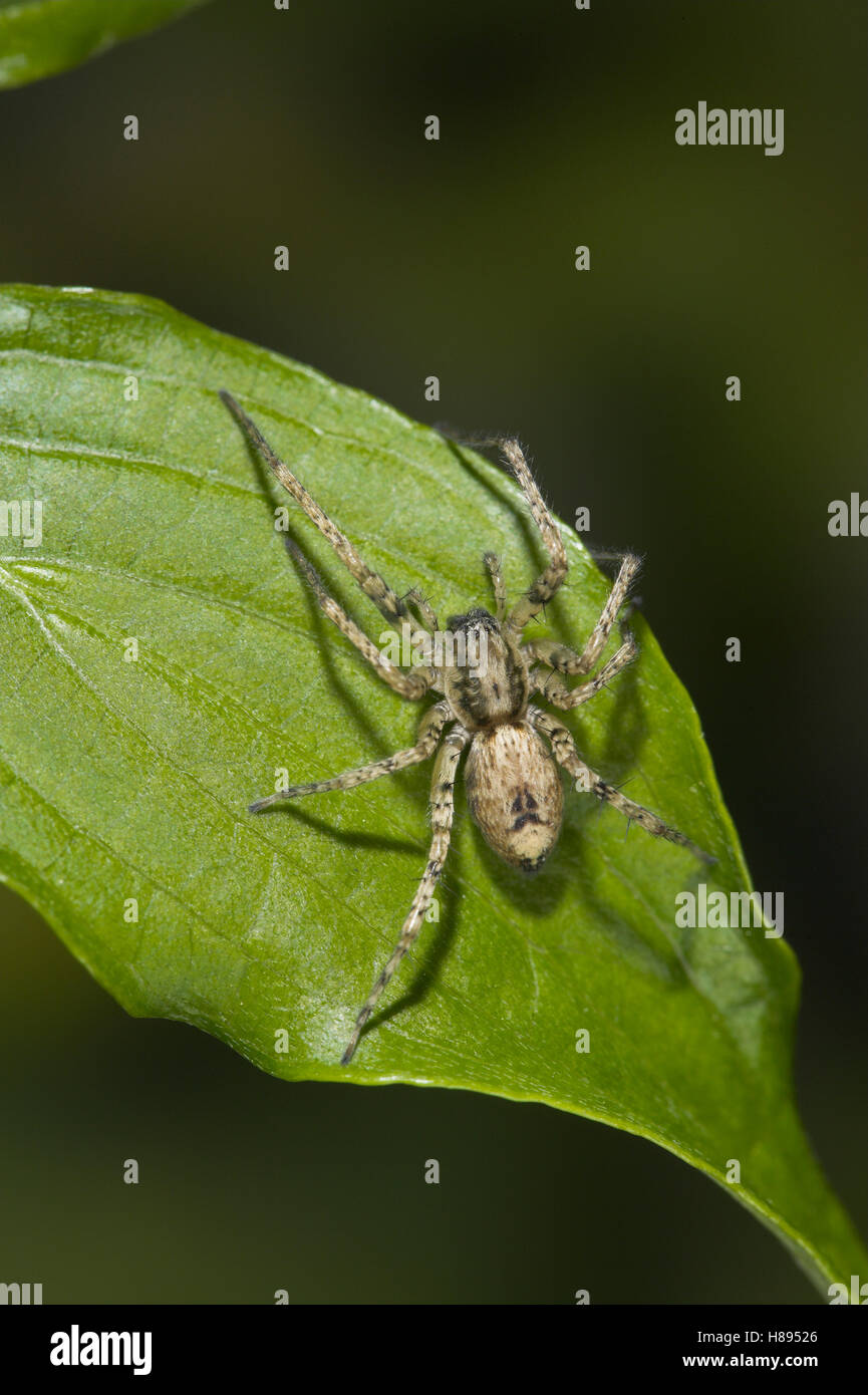 Buzzing Spider (Anyphaena accentuata) male produces an audible buzz by vibrating its abdomen against leaf to attract - Stock Image