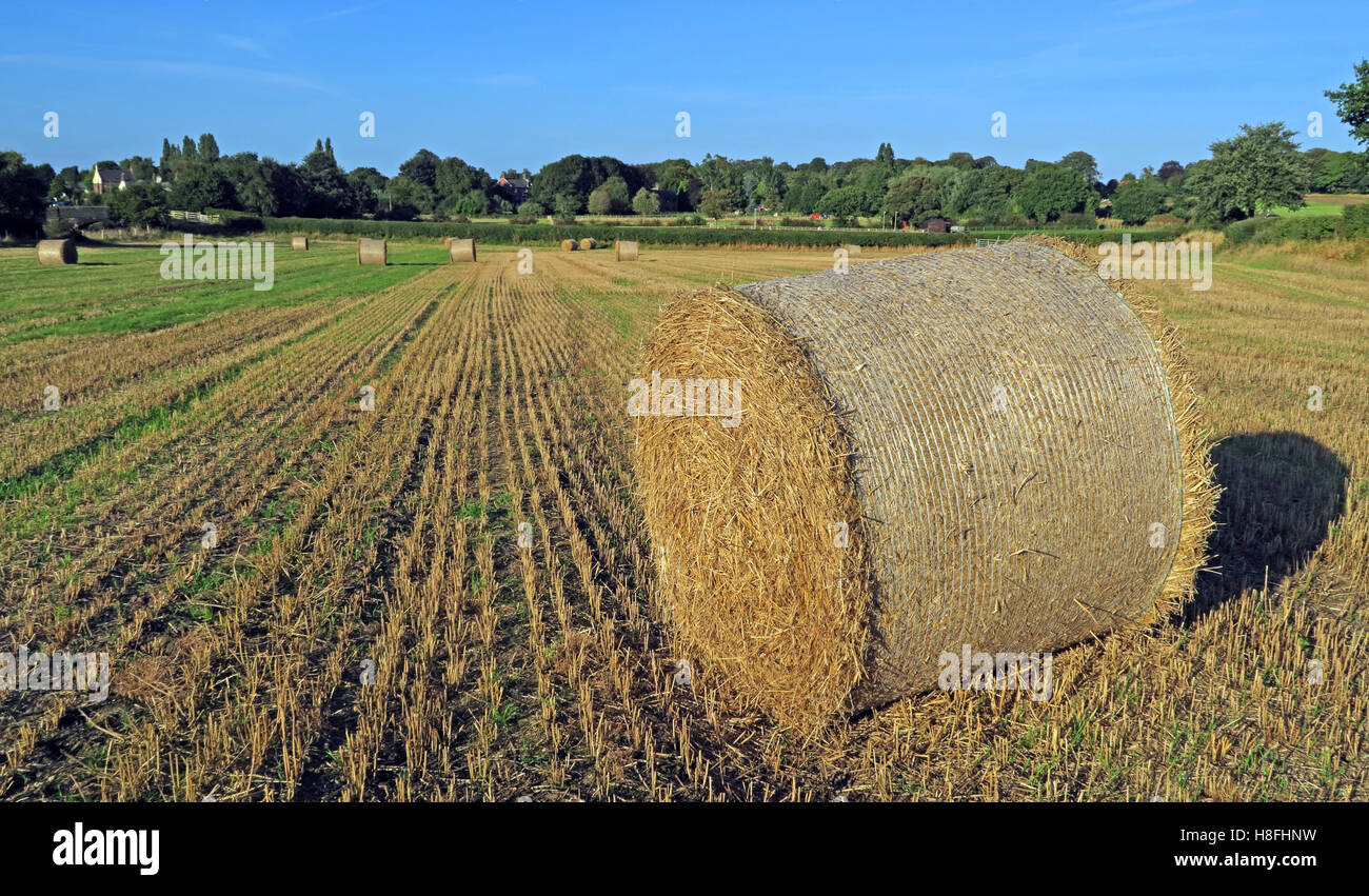 Cheshire,hay bale,haybale,hay bales,early,autumn,early autumn,late summer,circle,crop,harvested,stubble,evening,low sun,low,sun,time,harvest,harvest time,bails,roll,rolling,fields,agriculture,agricultural,rolled,oats,fresh,freshly,cut,freshly cut,straw,straw bales,village,rural,GoTonySmith,@HotpixUK,Tony,Smith,UK,GB,Great,Britain,United,Kingdom,English,British,England,Buy Pictures of,Buy Images Of,Images of,Stock Images,Tony Smith,United Kingdom,Great Britain,British Isles,Buy photo of