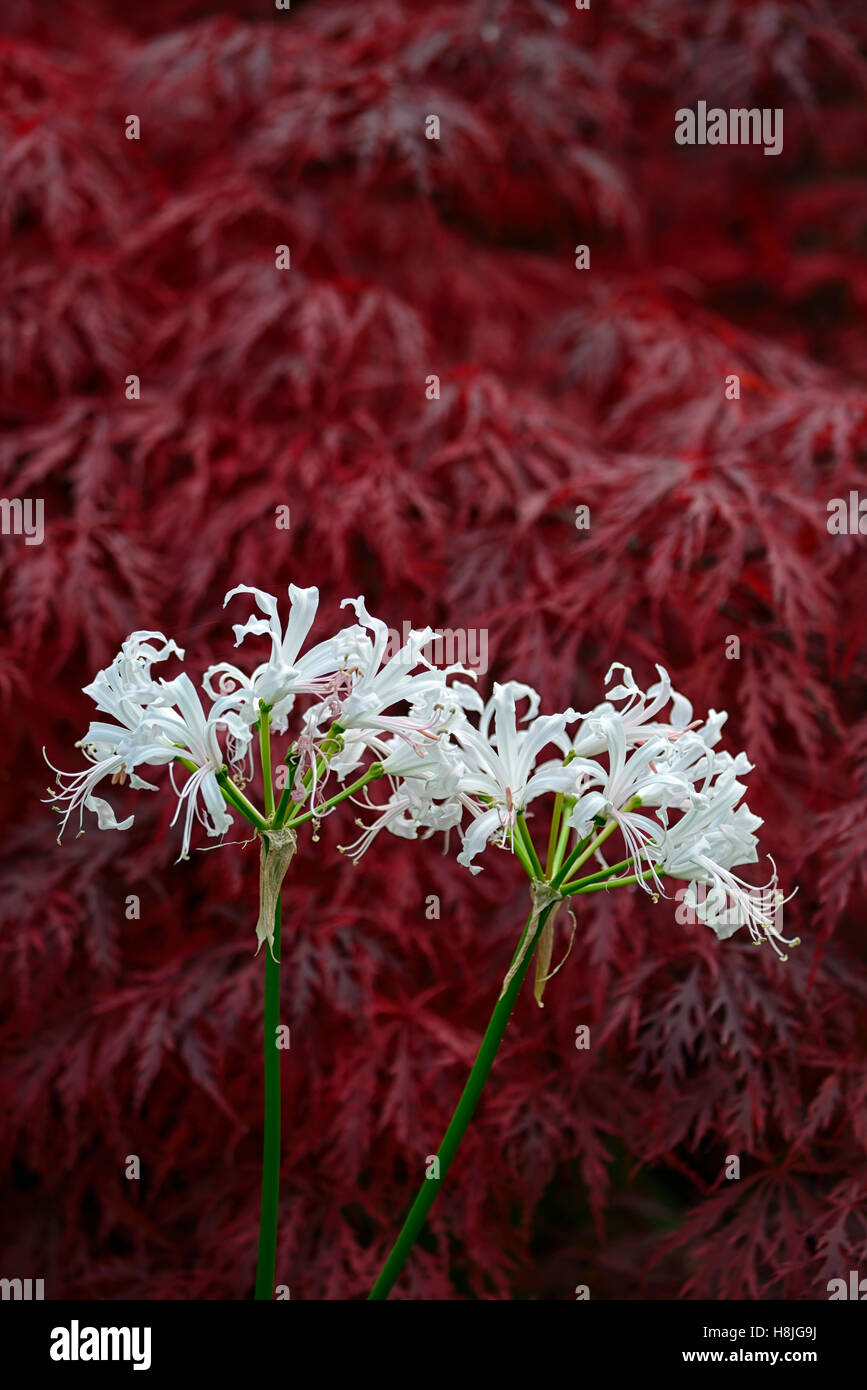 Nerine Bowdenii Ella K Acer Palmatum Dissectum White Flowers Red