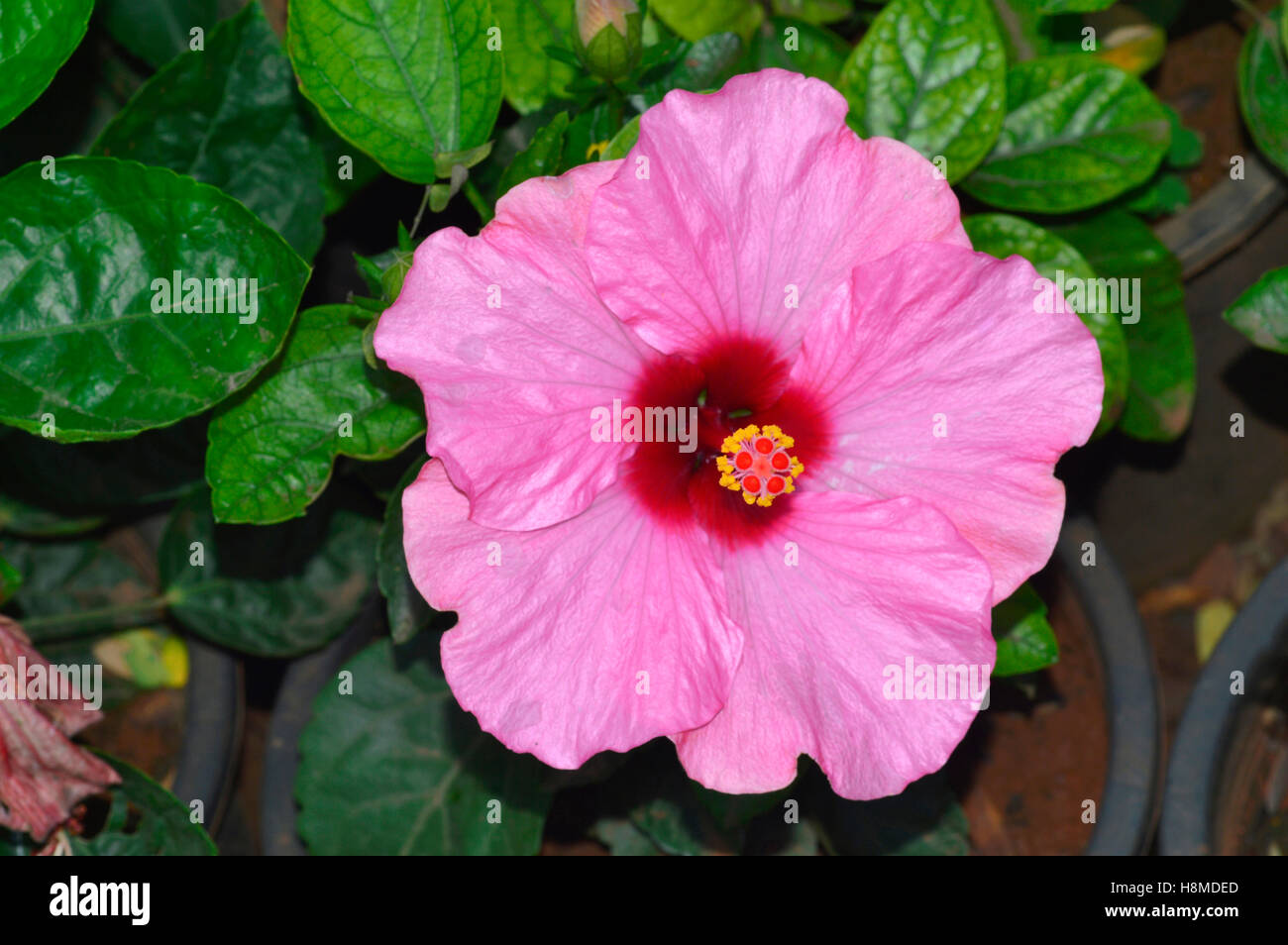 Pink hibiscus flower pune stock photo 125839461 alamy pink hibiscus flower pune izmirmasajfo