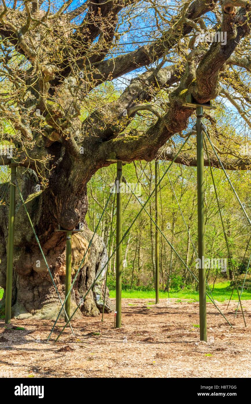 The Great Oak in Sherwood Forest home to Robin Hood and his merry men. Stock Photo
