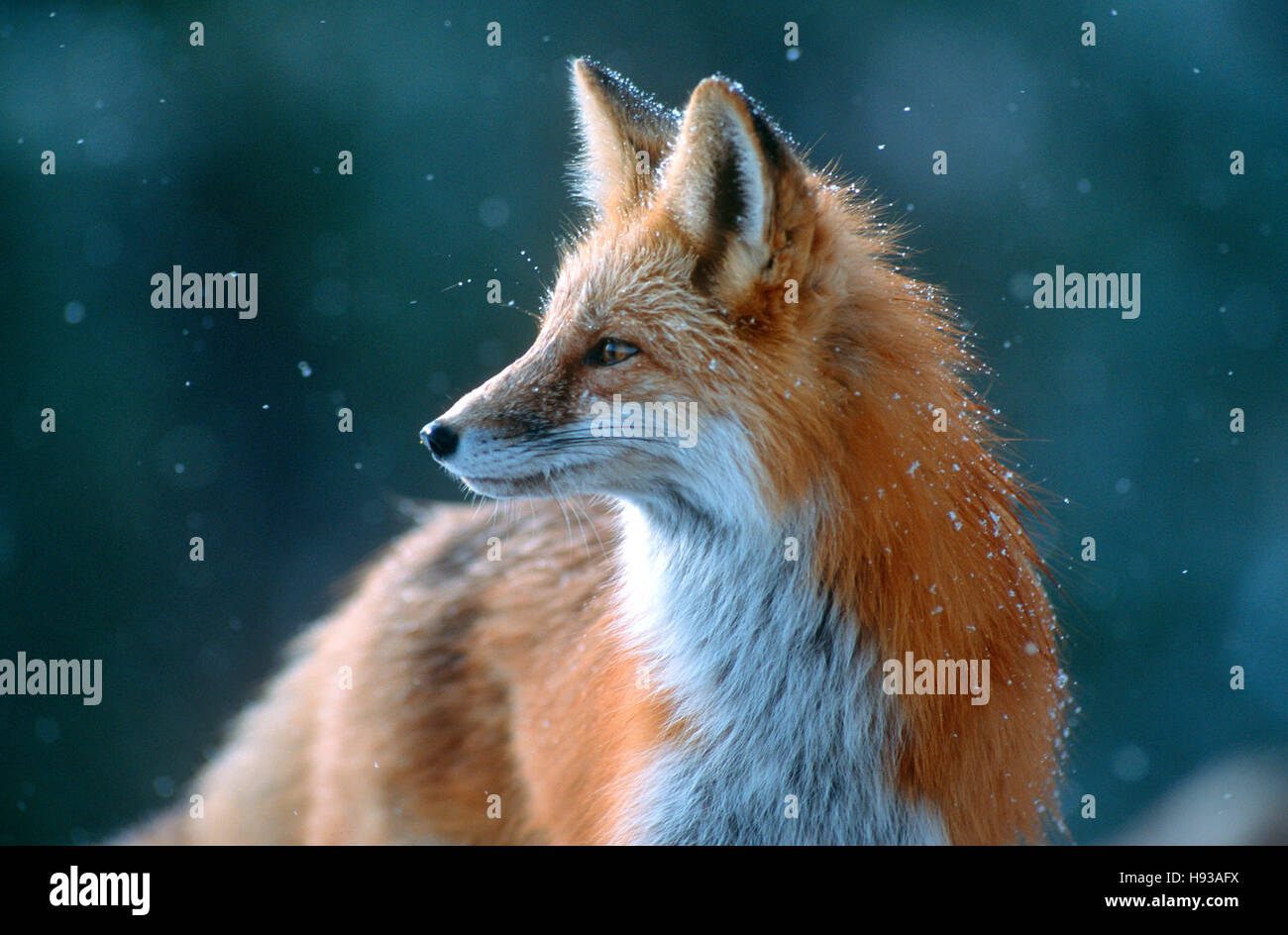 Red fox looks cautious. Near Boulder, Colorado - Stock Image